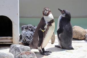 フンボルトペンギン2羽の写真素材 [FYI01256682]
