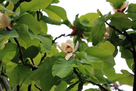 ユリノキの花の写真素材 [FYI01256683]