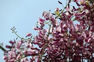 フジの花と青空の写真素材 [FYI01256684]