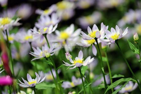 ミヤコワスレの花の写真素材 [FYI01256686]