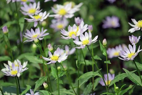 ミヤコワスレの花の写真素材 [FYI01256687]