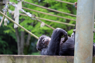 寝そべるチンパンジーの写真素材 [FYI01256692]