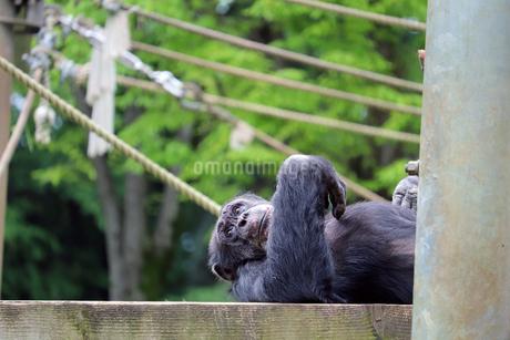 寝そべるチンパンジーの写真素材 [FYI01256693]