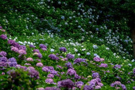 紫陽花の咲く山の写真素材 [FYI01256694]