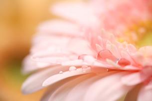 ガーベラのクローズアップの写真素材 [FYI01256699]