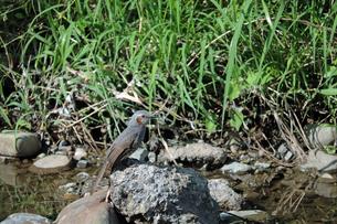 川の岩場にとまるヒヨドリの写真素材 [FYI01256720]