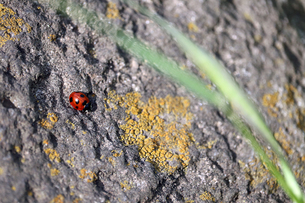 岩場の上のナナホシテントウムシの写真素材 [FYI01256721]