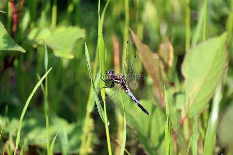 草にとまるシオカラトンボの写真素材 [FYI01256722]