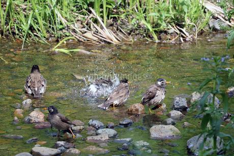 群れで交代しながら水浴びするムクドリの写真素材 [FYI01256728]