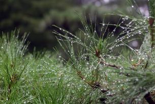 雨上がりの松の葉の写真素材 [FYI01256740]