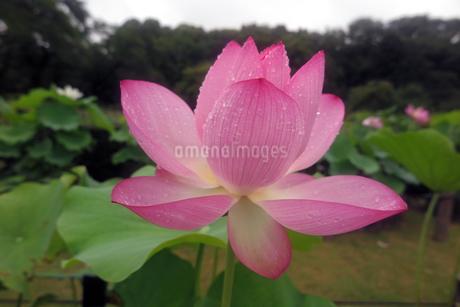 雨上がりに撮影したハスの花の写真素材 [FYI01256742]