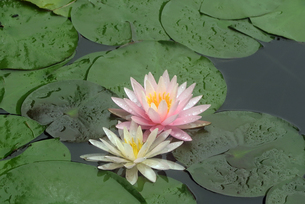 雨上がりに撮影したスイレンの花の写真素材 [FYI01256744]