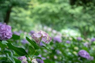森の中の紫陽花の写真素材 [FYI01256774]