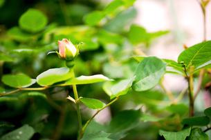 春バラ3の写真素材 [FYI01256802]