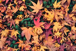 苔庭に落ちた色とりどりの紅葉の写真素材 [FYI01256878]