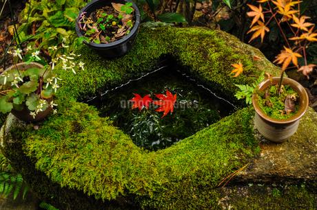 苔に覆われた手水鉢とその中に浮かぶ二枚の紅葉の写真素材 [FYI01256881]
