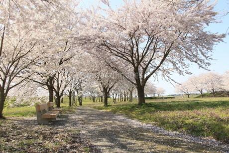 桜の咲く公園の写真素材 [FYI01256932]