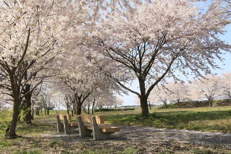 ベンチのある桜並木の公園の写真素材 [FYI01256933]