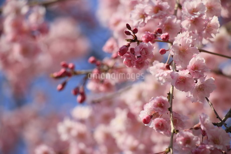咲き乱れる枝垂桜の写真素材 [FYI01256935]