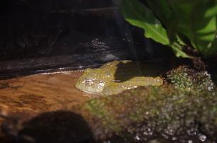 カエルの写真素材 [FYI01257060]