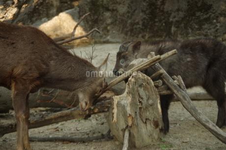 カモシカ&鹿2の写真素材 [FYI01257094]