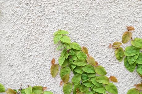 壁に茂る葉の写真素材 [FYI01257155]