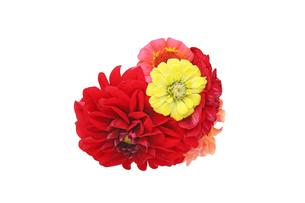 ダリアとジニアの花束の写真素材 [FYI01257158]