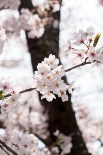 咲き誇る桜の花の写真素材 [FYI01257249]