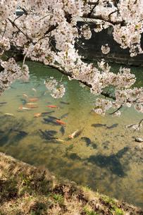 川を泳ぐ鯉と桜の見える景色の写真素材 [FYI01257250]