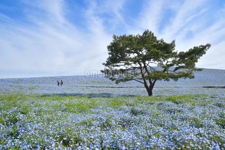 ひたち海浜公園のネモフィラの写真素材 [FYI01257266]