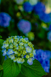 Blooming hydrangea flowers in Japanの写真素材 [FYI01257278]