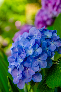 Blooming hydrangea flowers in Japanの写真素材 [FYI01257280]