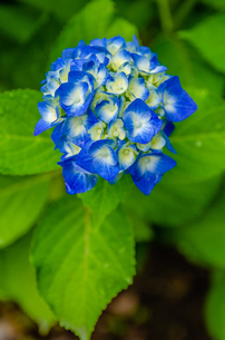 Blooming hydrangea flowers in Japanの写真素材 [FYI01257285]