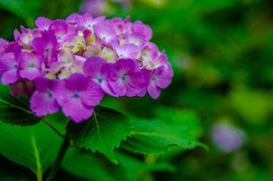 Blooming hydrangea flowers in Japanの写真素材 [FYI01257288]