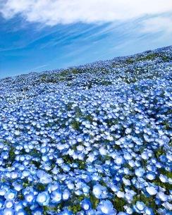 青空とネモフィラブルーの写真素材 [FYI01257290]