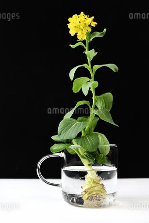 青梗菜の水耕栽培の写真素材 [FYI01257308]