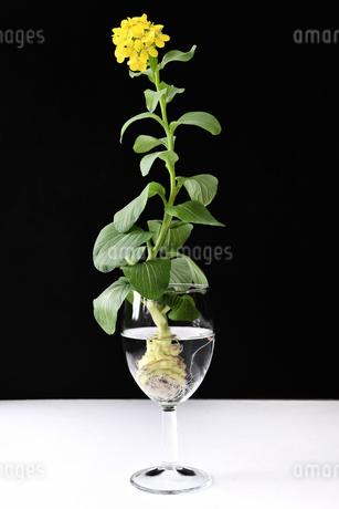 青梗菜の水耕栽培の写真素材 [FYI01257309]
