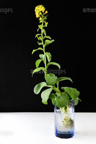 青梗菜の水耕栽培の写真素材 [FYI01257310]
