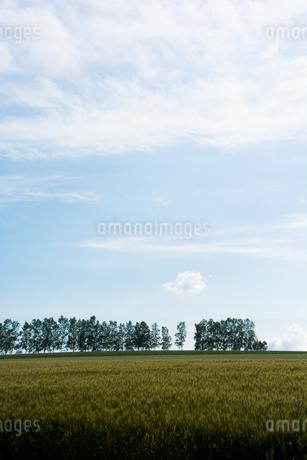 麦畑とシラカバ並木 美瑛町の写真素材 [FYI01257364]