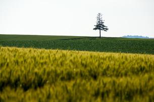 麦畑と松の木 美瑛町の写真素材 [FYI01257365]