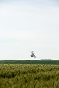 麦畑と松の木 美瑛町の写真素材 [FYI01257366]