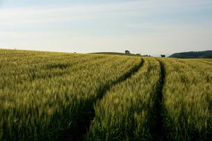 緑の麦畑 美瑛町の写真素材 [FYI01257370]