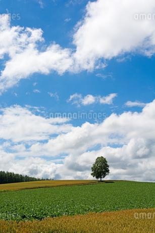 丘の上に立つシラカバの木の写真素材 [FYI01257376]