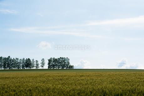 収穫前の麦畑 美瑛町の写真素材 [FYI01257381]