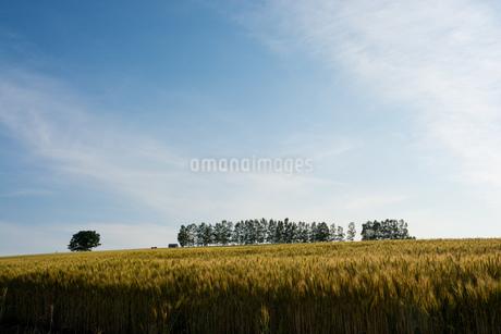 収穫前の麦畑 美瑛町の写真素材 [FYI01257382]