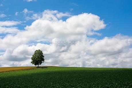 丘の上に立つシラカバの木の写真素材 [FYI01257384]