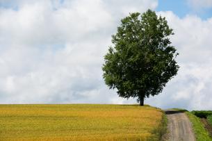 丘の上に立つシラカバの木の写真素材 [FYI01257385]