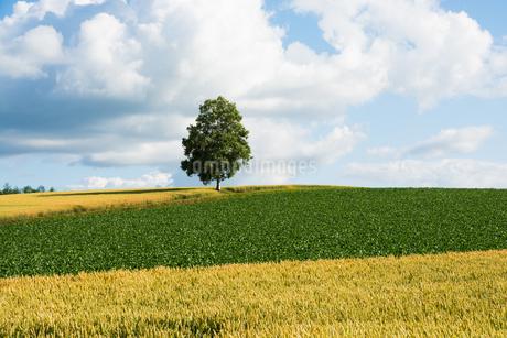丘の上に立つシラカバの木の写真素材 [FYI01257386]