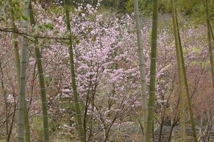 竹林と桜の写真素材 [FYI01257419]