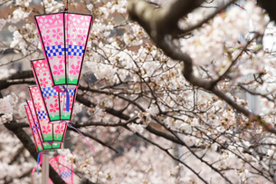 公園の桜と提灯の写真素材 [FYI01257504]